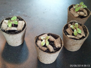 bluepicoteeseedlings
